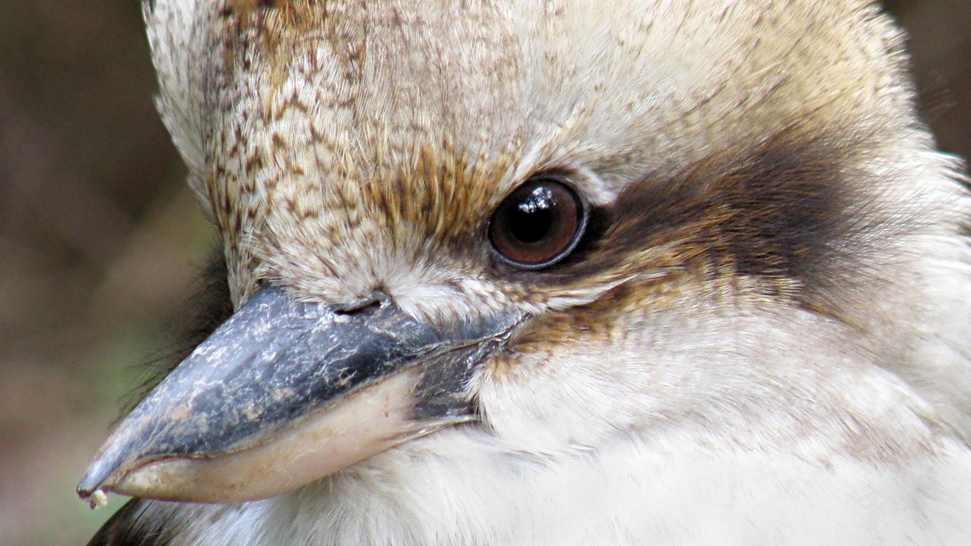 Laughing Kookaburra [Bushpea 14/24] Bird Nest With Bird