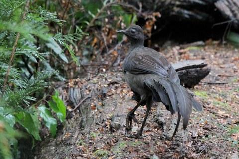 superb lyrebird vik 2 8