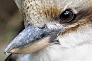 The accused, John Kookaburra